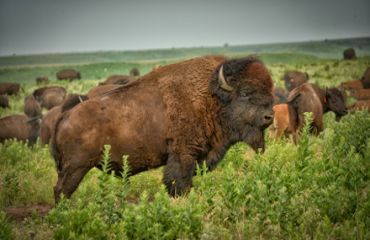 Bison in den Flint Hills